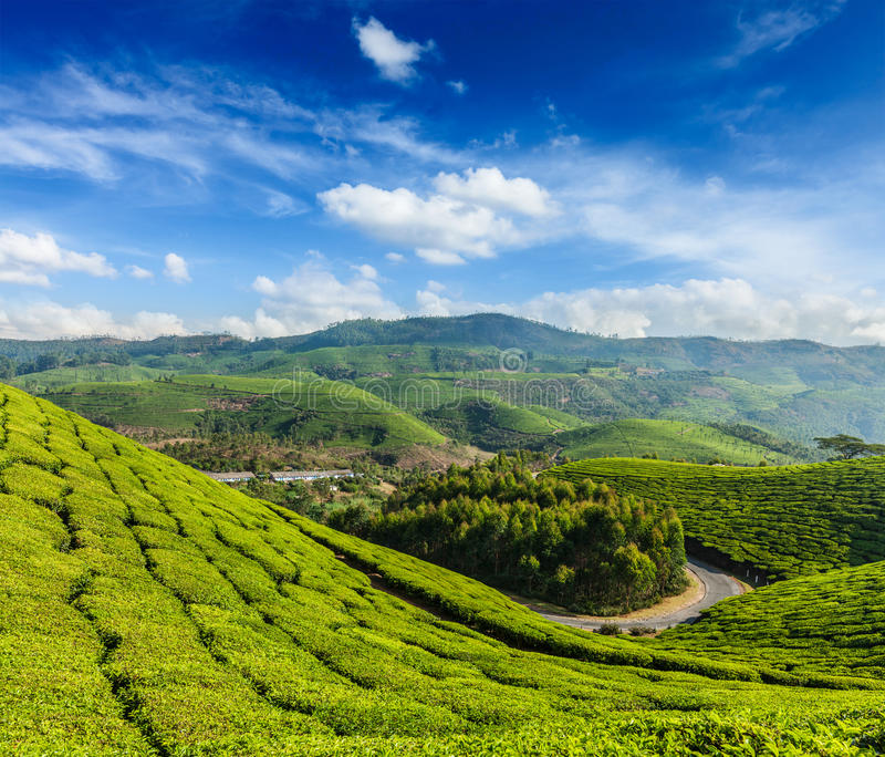 Kolonier för grönt te i Munnar, Kerala, Indien royaltyfria foton