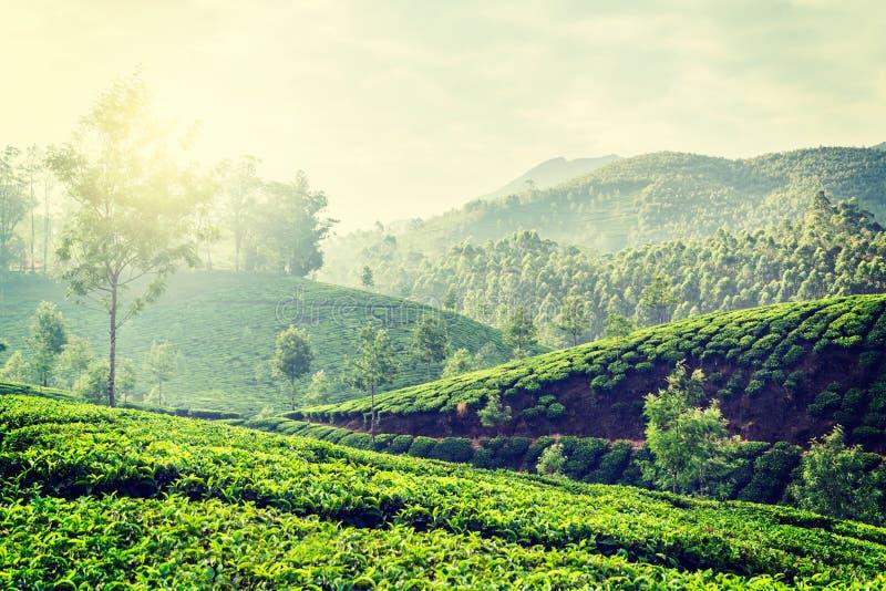 Kolonier för grönt te i Munnar, Kerala, Indien fotografering för bildbyråer