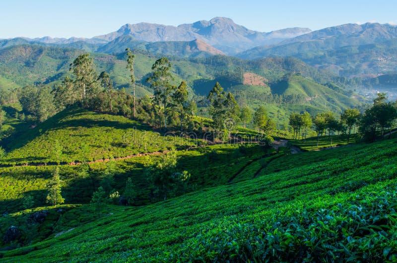 Kolonier för grönt te Munnar Kerala, Indien arkivfoto