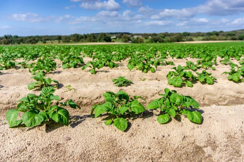 Kolonier för potatis för grönsakträdgård på jordningen, begreppseco royaltyfri foto