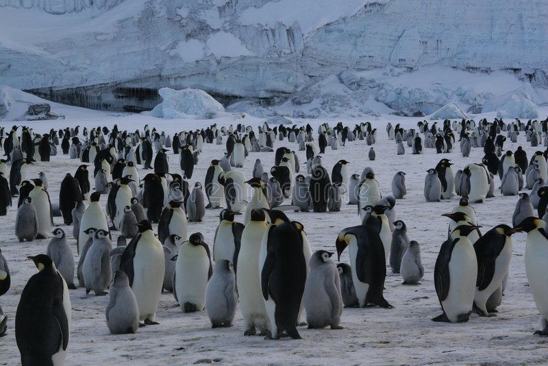 kolonii pingwinów imperatora. obrazy royalty free