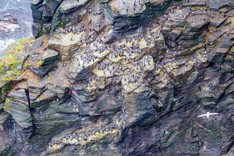 Kolonin av gemensam sillgrissla eller gemensamma Murre fåglar på klipporna längs det kust- går rutten royaltyfria bilder
