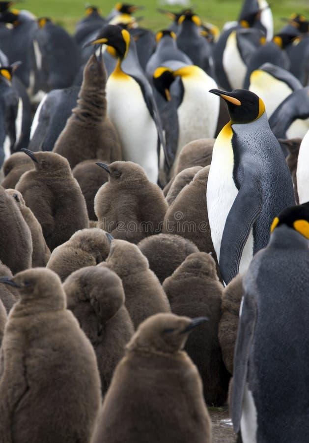 kolonin Falkland Islands görar till kung pingvinet royaltyfri fotografi