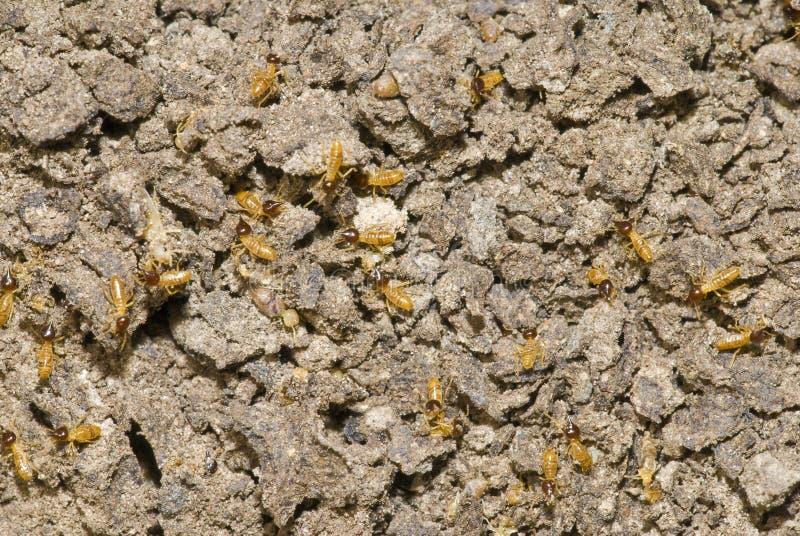 kolonitermites arkivfoton