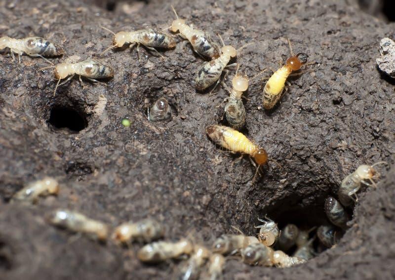 kolonitermites arkivbilder