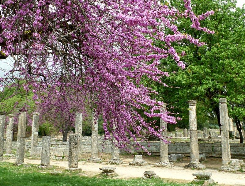 Kolonnerna och fördärvar bland härliga rosa blommor på Olympia Archaeological Site royaltyfria bilder