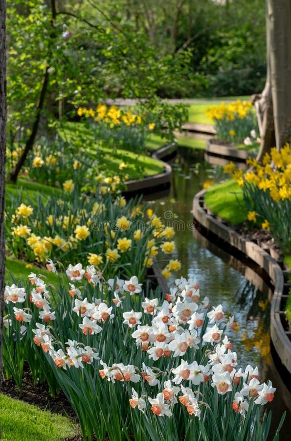 Kolorów żółtych daffodils i biali narcyzi przy Keukenhof ogródami, Lisse, holandie Keukenhof zna jako ogr?d zdjęcie royalty free