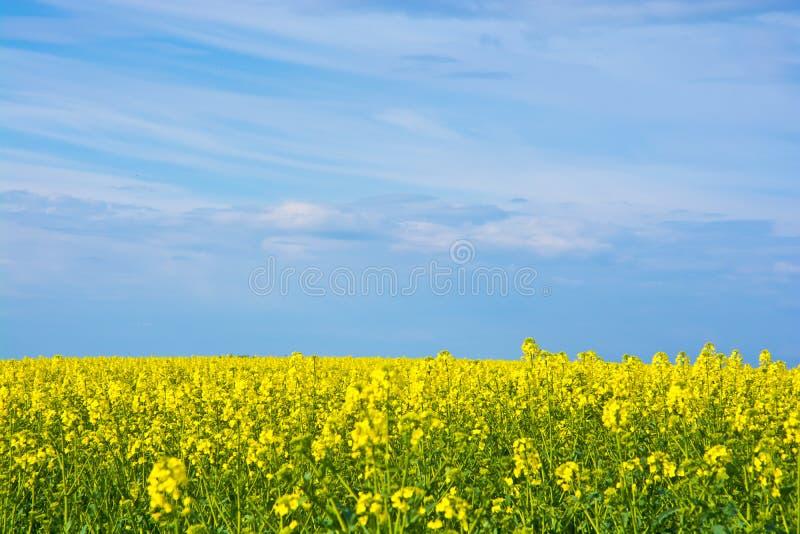 Kolorów żółtych gwałty obraz royalty free