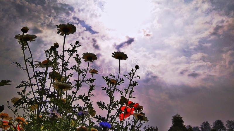 Kolorów żółtych kwiaty i chmurniejący niebo obraz royalty free