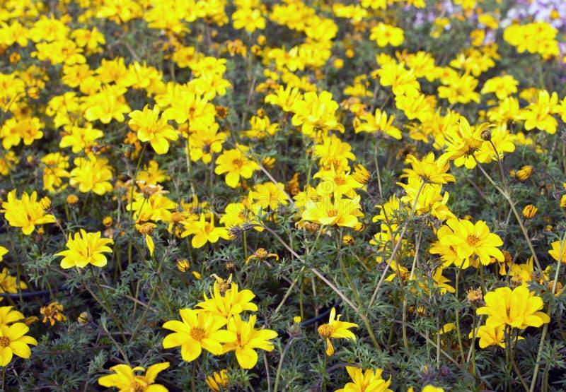 Kolorów żółtych kwiaty nazwany Bidens w wiośnie fotografia royalty free