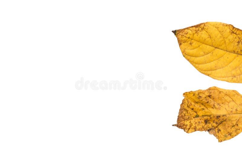 Kolorów żółtych liście na białym tle, ioslated zdjęcia stock