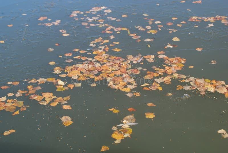 Kolorów żółtych liście w lodzie zdjęcie royalty free