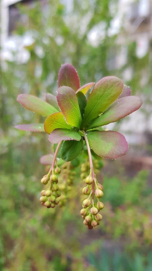 Kolorów żółtych pączki z zielonymi purpurami opuszczają zbliżenie obrazy royalty free