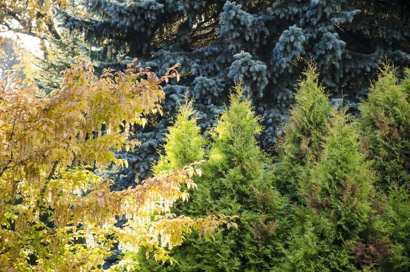 Kolorów drzewa Siberia zdjęcia stock