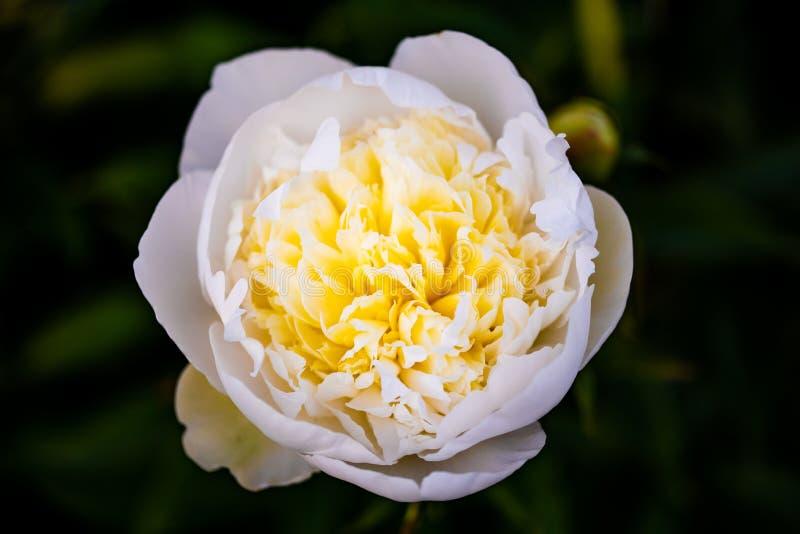 Kolor żółty - biały kwiat, kontrasta roślina fotografia zdjęcia royalty free