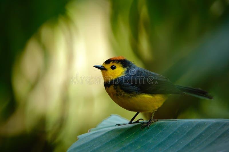 Kolor żółty i czerwień przewodziliśmy ptaka śpiewającego Kołnierzasty Redstart, Myioborus torquatus, Savegre, Costa Rica obraz royalty free