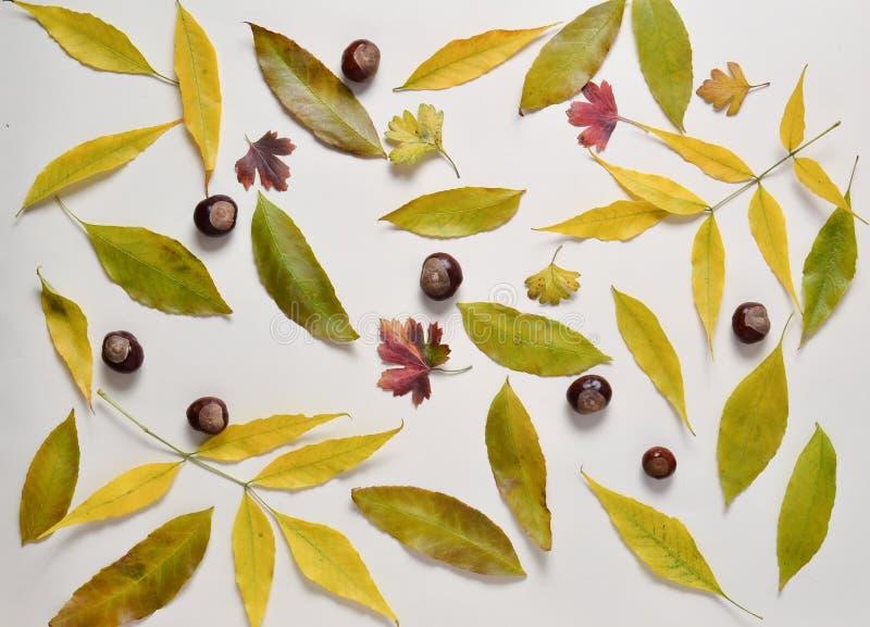 Kolor żółty i czerwień spadać liście, kasztany na stubarwnym papierowym tle jabłczanego jesień świeczek składu susi liść target24 obraz royalty free