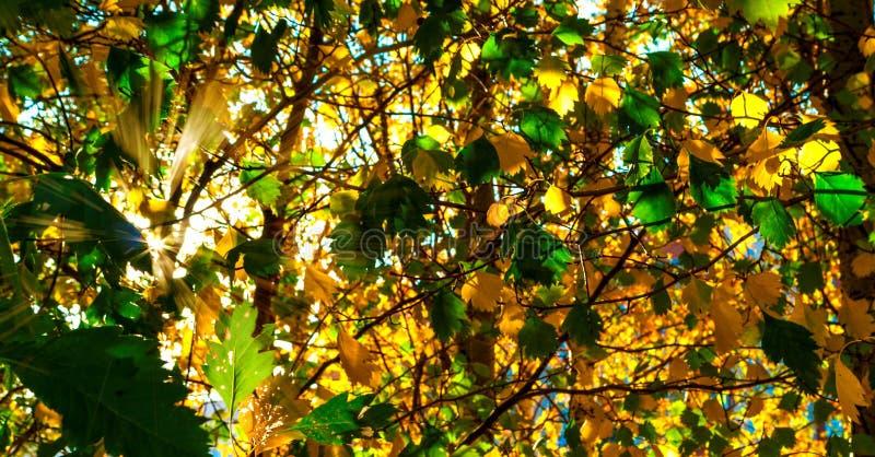Kolor żółty I GreenLeaves Zaświecający The Sun promieniami kolorowe tło Jesieni Złoty ulistnienie fotografia royalty free