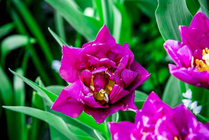 Kolor żółty i kremowi biali tulipany od Holandia zdjęcia royalty free