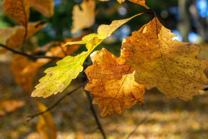 Kolor żółty i Pomarańczowi Białego dębu liście na gałąź obraz stock