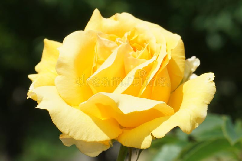 Kolor żółty jako słońce wzrastał fotografia stock