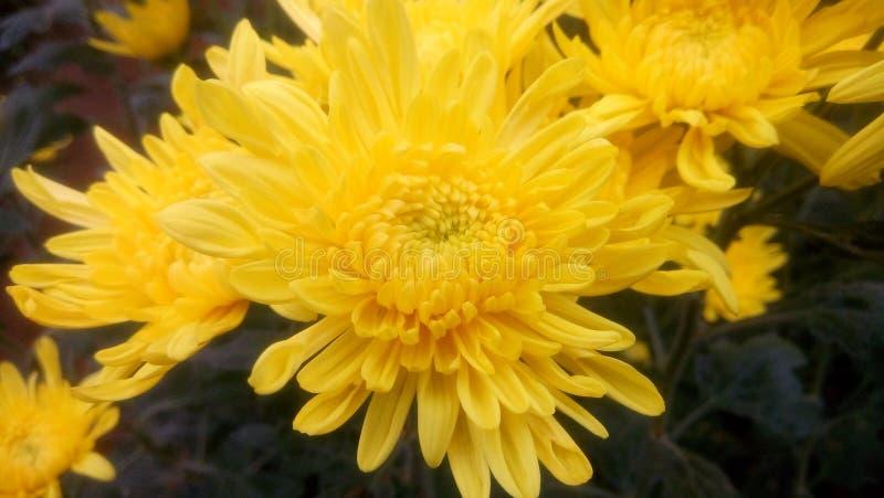 Kolor żółty krisan zdjęcie royalty free