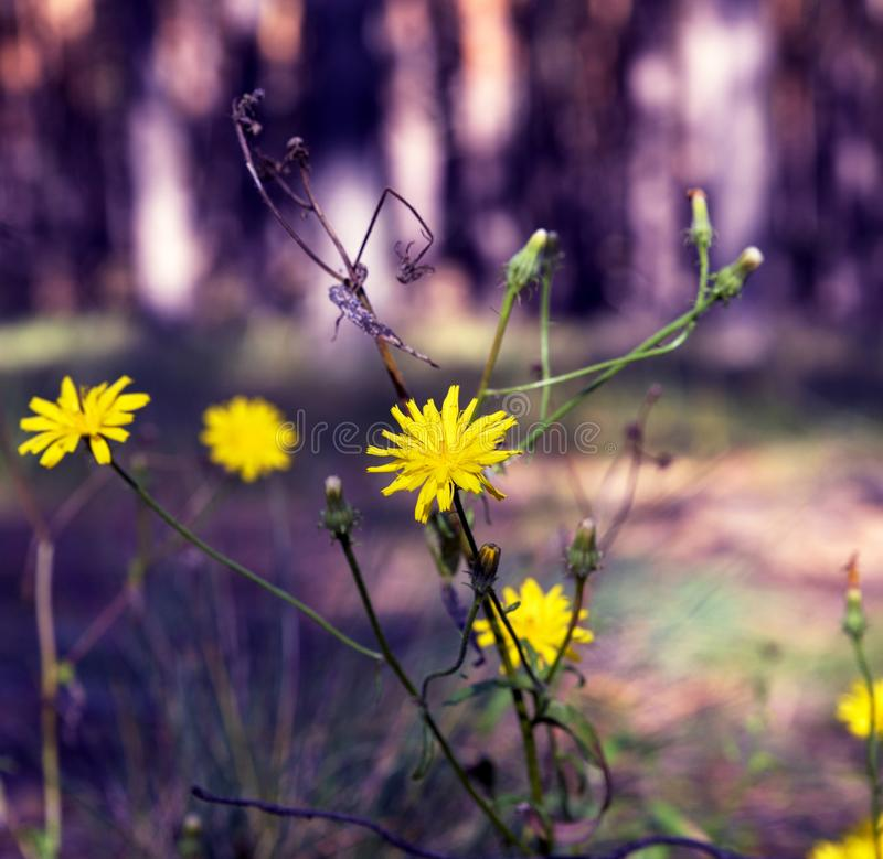 Kolor żółty kwitnie Crepis tectorum zdjęcia stock