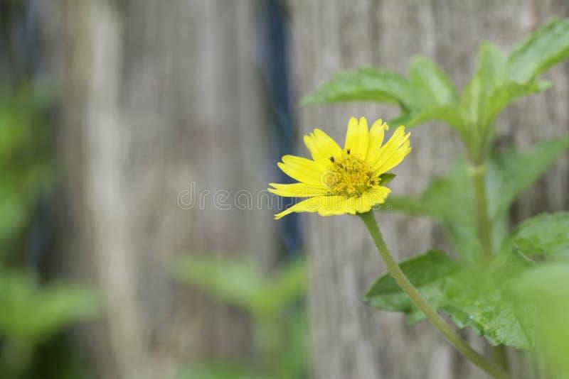 Kolor żółty kwitnie kwitnącego lBackground na drewnianym ogrodzeniu zdjęcia royalty free