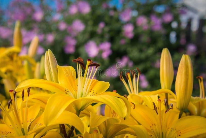 Kolor żółty kwitnie leluje na tle purpurowy bindweed zdjęcia royalty free
