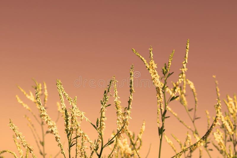 Kolor żółty kwitnie na czerwonym zmierzchu zdjęcie royalty free