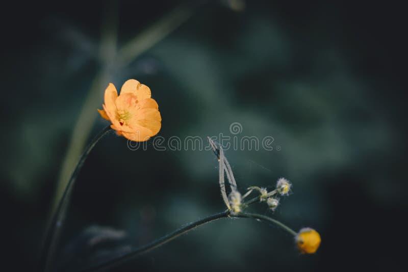 Kolor żółty kwitnie na tła bokeh obrazy royalty free