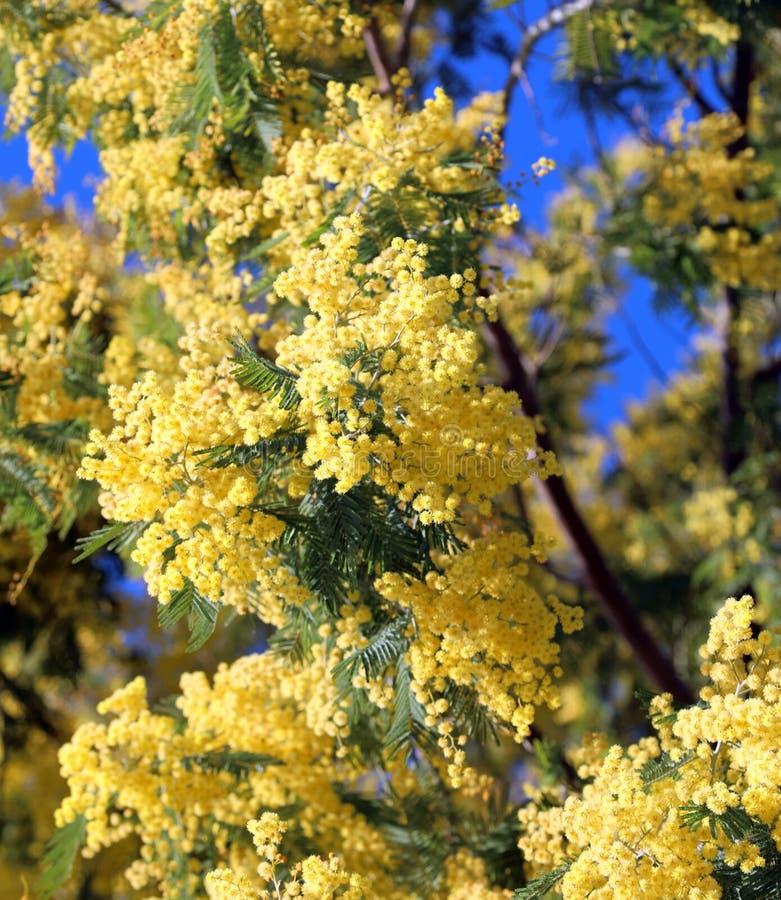 Kolor żółty kwitnie nazwanej Mimozy Akacjowy drzewo także dzwoniący Wattles fotografia royalty free
