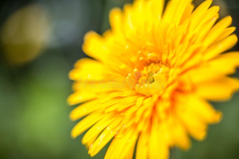 kolor żółty kwitnie stroną droga zdjęcia royalty free