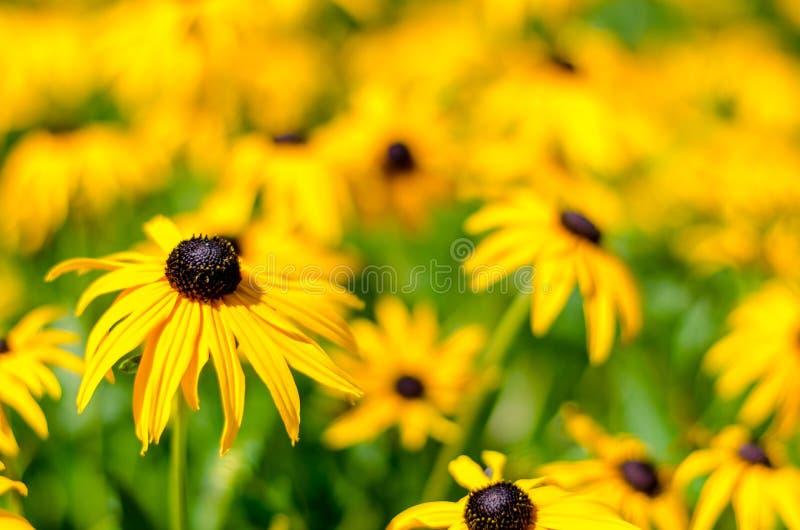 Kolor żółty Kwitnie w czasu słońcu zdjęcia royalty free