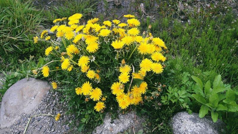 Kolor żółty Kwitnie w Japonia zdjęcie stock