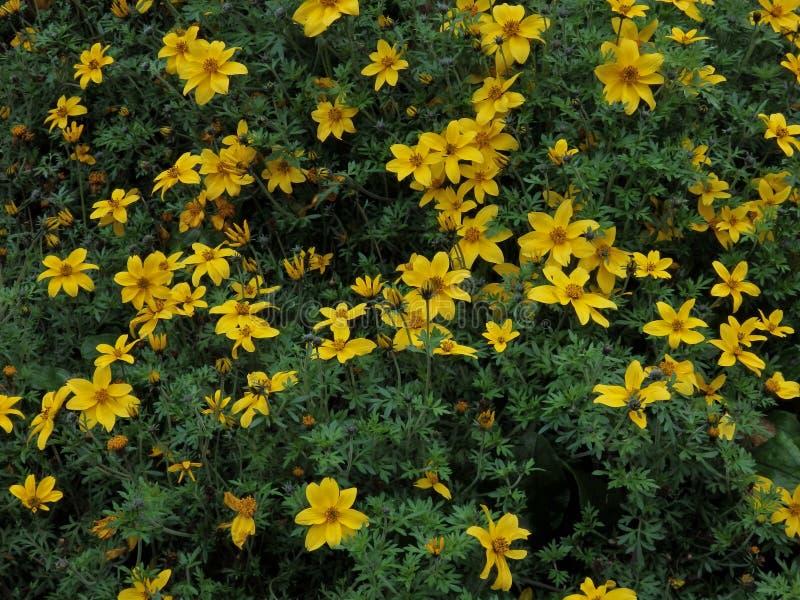 Kolor żółty kwitnie w ogródzie obrazy royalty free