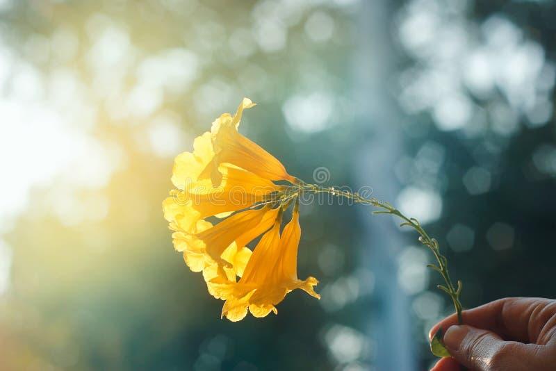 Kolor żółty kwitnie w ręce na kolorowym zmierzchu tle zdjęcie royalty free