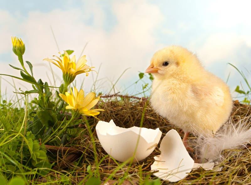 Wielkanocy kurczątko i kwiaty obrazy stock