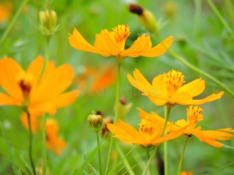 Kolor żółty kwitnie z zielonym tłem fotografia royalty free