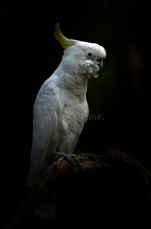 Kolor żółty lesser czubaty kakadu zdjęcie royalty free