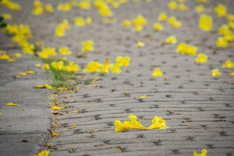 Kolor żółty lub błonia ` Złotej trąbki imię ` na betonowym footpath kwitniemy obraz royalty free