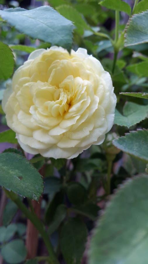 Kolor żółty miniatura wzrastał zdjęcia stock