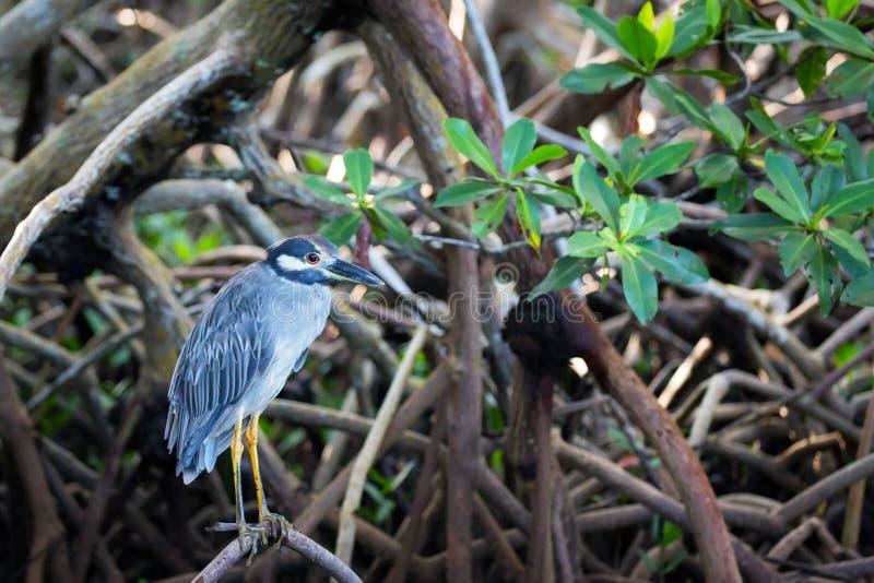 Kolor żółty nocy Koronowana czapla wśród mangrowe zdjęcie royalty free