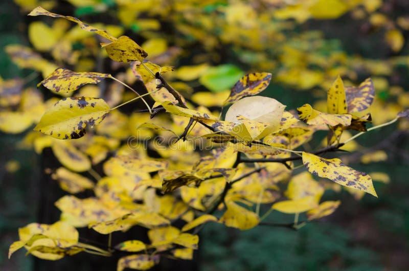 Kolor żółty opuszcza naturze piękną jesień obraz royalty free