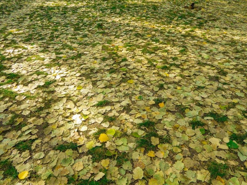 Kolor żółty opuszcza w jesieni kłaść na ziemi w parku obrazy stock