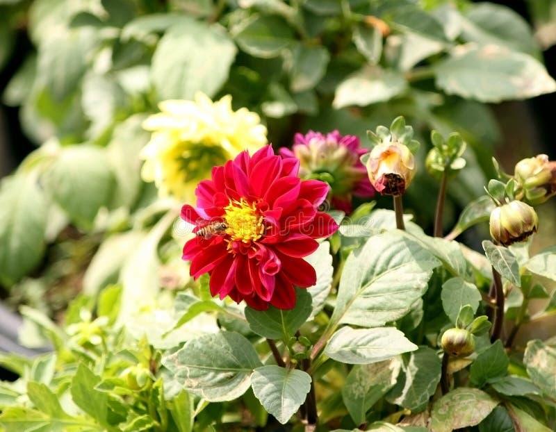 Kolor żółty pettaled czerwony gerbera kwitnie w wiośnie fotografia stock