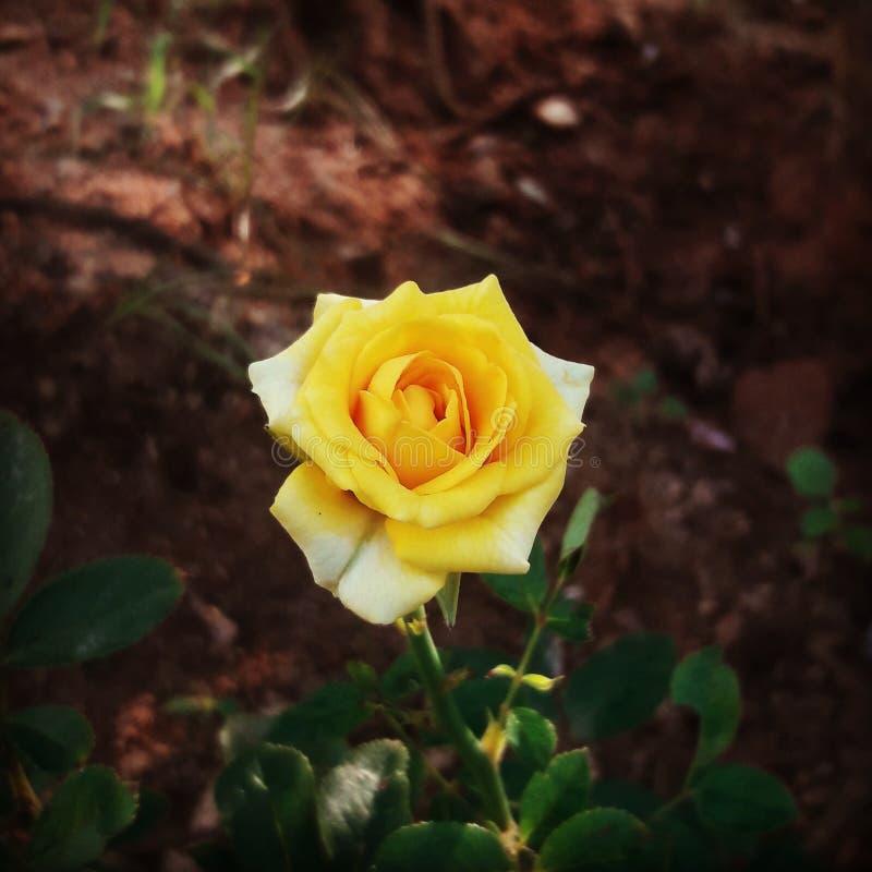 Kolor żółty pokraka wzrastał fotografia stock