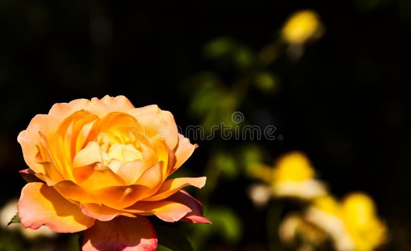 Kolor żółty, pomarańczowy kwiat i kolor żółty ones przy plecy zdjęcie stock