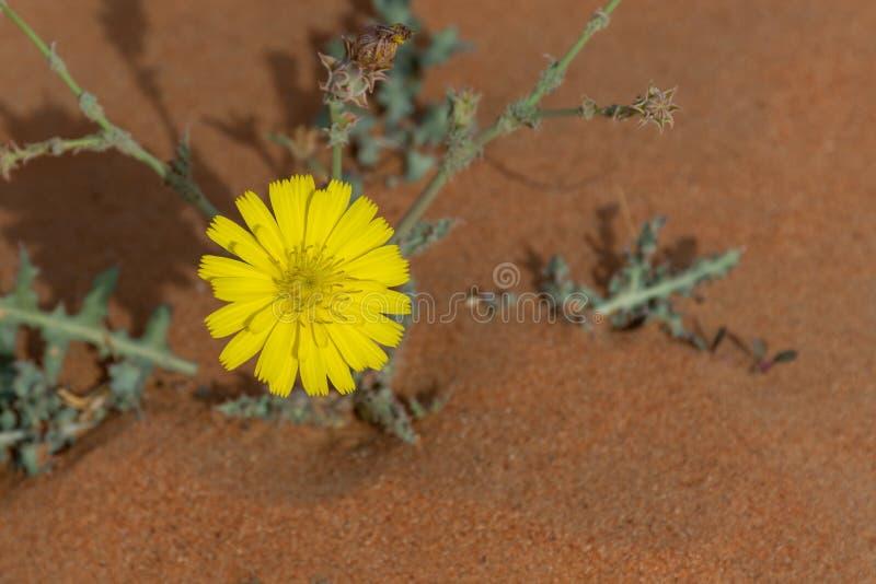 Kolor żółty pustyni kwiat w kwiacie w Zjednoczone Emiraty Arabskie fotografia royalty free