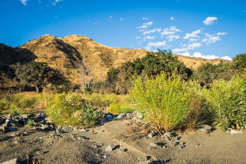 Kolor żółty pustynia Kwitnie w Kalifornia zdjęcia royalty free